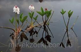 Вахта трехлистная (Menyanthes trifoliata)