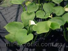 Калла болотная(белокрыльник) (Calla palustris)