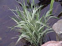 Двукисточник тростниковый (Phalaris arundinacea)