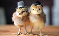 Обогрев брудера для цыплят, курятника, инкубатора