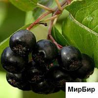 Черноплодная рябина, сушенная, (90гр)