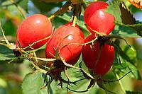 Шиповника плодов гидролат