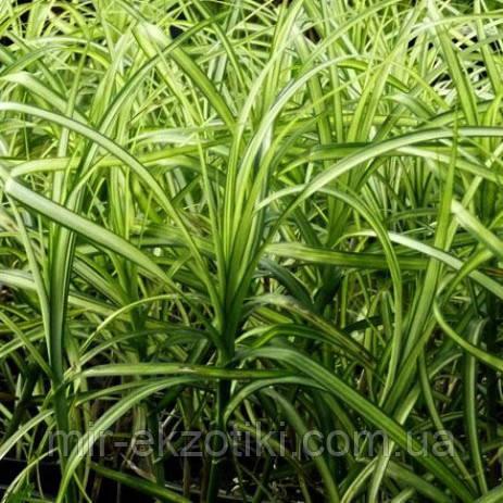 Осока пальмолистная пестрая(Carex muskingumensis Variegata)