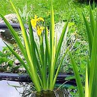Ирис аировидный Variegata (Iris pseudacorus «Variegata»)