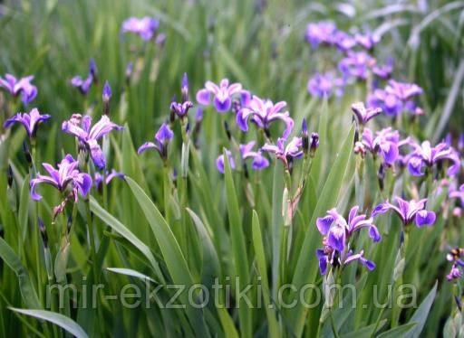 Ирис версиколор (Iris versicolor)