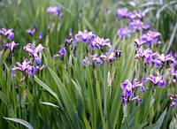 Ирис разноцветный (Iris versicolor)