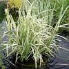 Манник большой Вариегата (Glyceria maxima Variegata)