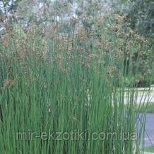 Камыш озерный (Scirpus lacustris)