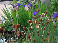 Рогоз малый (Typha minima)