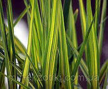 Тростник австралийский Вариегатус желтый или белый  (Phragmites australis Variegatus)