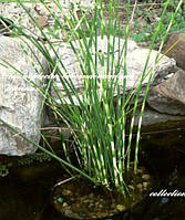 Камыш Табернемонтана Зебрина (Scirpus tabernaemontani Zebrinus)