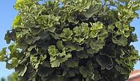 Гинкго билоба 'Mariken' Pa (высота 1.20 м)