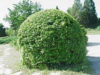 Бирючина формированная шар (высота 1.00-1.25м)
