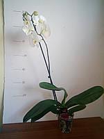Орхидея фаленопсис стандарт белая