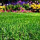 Мятлик луговой сорт Балин, фото 2