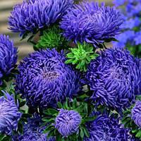 Семена астры Арлекин синяя 2 г