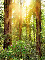 Фотообои флизелиновые на стену 184х248 см 2 листа: Национальный парк Редвуд. Komar XXL2-044