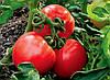 Семена томатов: сорт или гибрид?