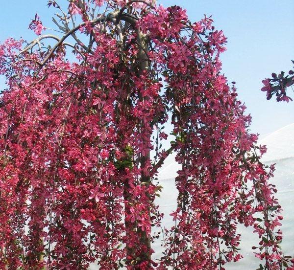 Яблоня плакучая Royal Beauty, h-141-180 d 7-9