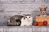 Шотландский котенок страйт биколор