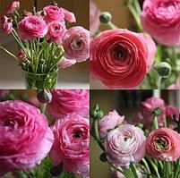 Лютик розовый (ранункулюс), 5 клубней