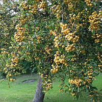 Яблоня 'Golden Hornet' (высота 2.00м -2.50м)