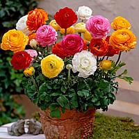 Лютик (ранункулюс) микс цветов 10 шт