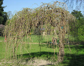 Шелковица белая 'Pendula' St Контейнер,  Н 180 -200, НО  8-10, фото 2