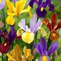 Ирис луковичный микс цветов, 10шт