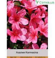 Азалия Kermesina