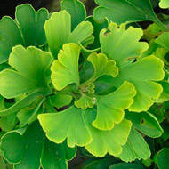 Ginkgo biloba 'Being Gold'
