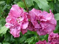 Hibiscus syr. 'Duc de Brabant'
