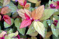 Spiraea japonica 'Walbuma'PBR