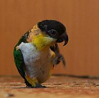 Черноголовый белобрюхий попугай - Каик (Pionites melanocephala), фото 1