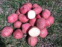 "Картофель ""Кристина"" фракция 55-65, Голландия, 1 кг"