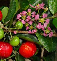 Cosme-phytami Acerola — экстракт Ацеролы