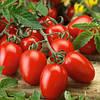 Выращиваем высокоурожайные томаты из семян