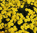 Хризантема низькоросла КНОПА бордюрна, фото 3