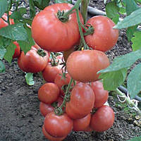 Семена ПинкВейв для высокого урожая томатов