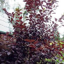 Cлива растопыренная 'Hulliwood' (высота 1.70м- 2.00м)