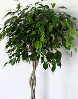 """Фикус бенжамина Даниэль""""Ficus benjamina Danielle """"(заплетён косой)"""