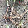 Зеленая кропивка малины сорт Джоан Джей (100% приживаемость)