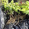Зеленая кропивка малины сорт Джоан Джей