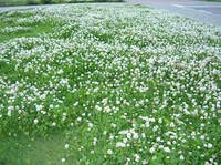Клевер белый ползучий (конюшина біла), семена (Украина)