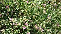 Люцерна посевная  (люцерна посівна - укр.) семена