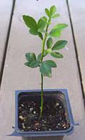 Понцирус трeхлисточковый (Citrus trifoliata, Poncirus trifoliata) до 20 см.