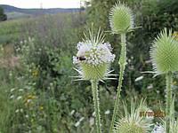 Ворсянка (черсак), семена