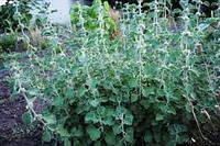 Шандра, семена