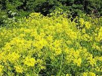 Свербига восточная (свербіга східна), семена