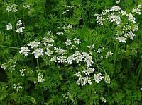 Кориандр (кинза), семена